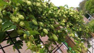 Sterk Blond verse hop oogst